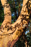 Arbutus Shadow Branches