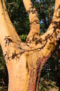 Arbutus Shadow Branches 2