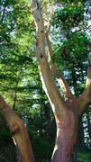 Arbutus Tree Forest
